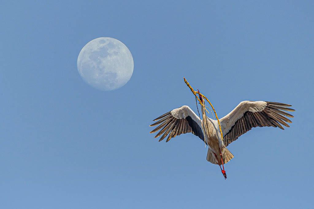 Storch vor Mond - (c) eric immerheiser